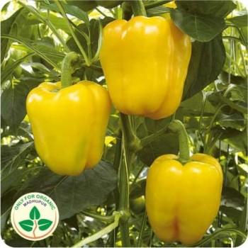 Capsicum Yellow Seeds
