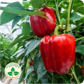 Capsicum Red Seeds